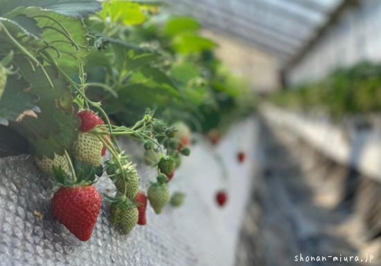 真っ赤でおいしそうな畑のイチゴ