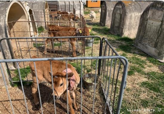 関口牧場の子牛たち