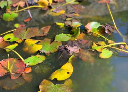 披露山公園のカエル