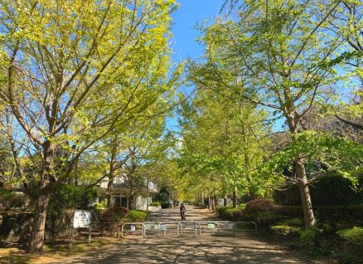 葉山南郷公園のイチョウ並木