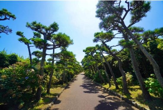城ケ島公園松並木
