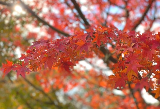 しょうぶ園の紅葉