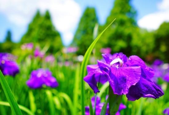 横須賀しょうぶ園の花しょうぶ